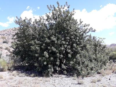 Algarrobo: ejemplo de cultivo sostenible y saludable